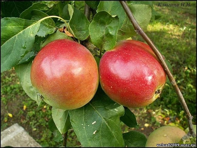 Прекрасная яблоня конфетное: фото и описание сорта