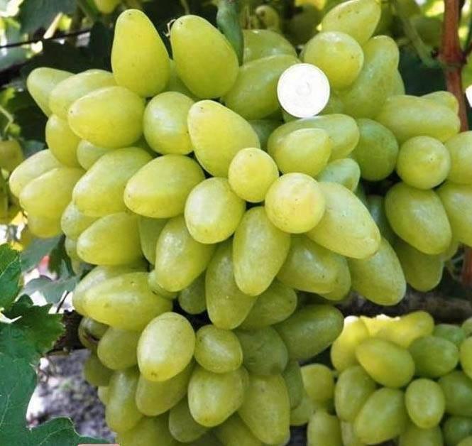 Виноград «бажена» описание сорта с фото и видео