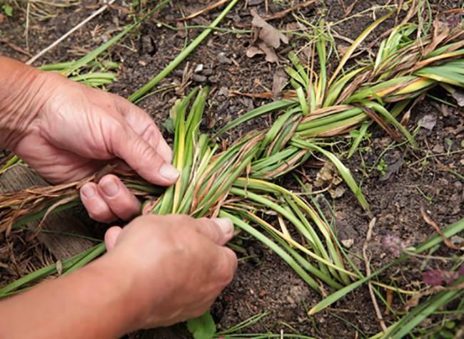 О выкапывании и посадке нарциссов после цветения (когда выкапывать и сажать)