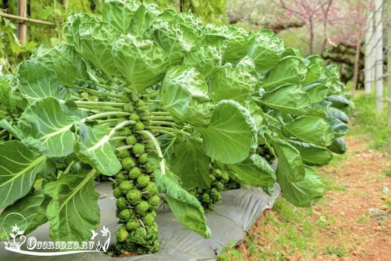 Капуста брюссельская— выращивание рассады