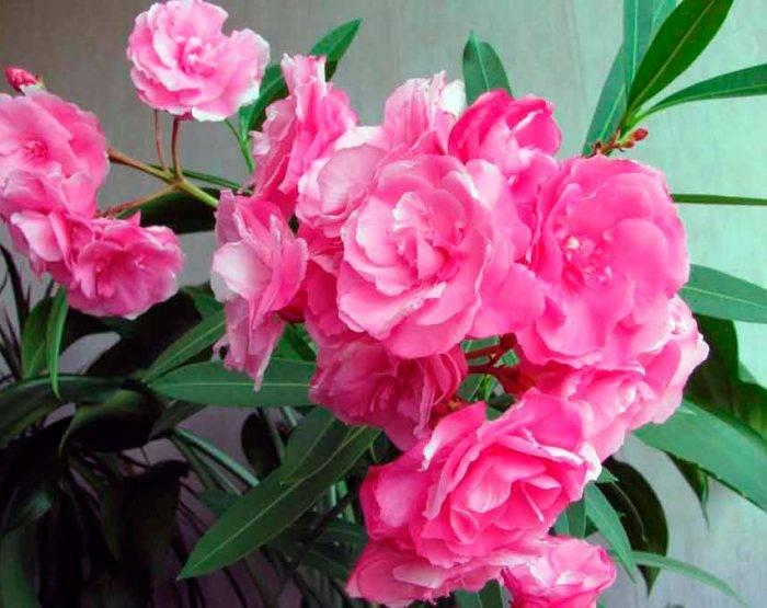 Цветок жасмин домашний как ухаживать