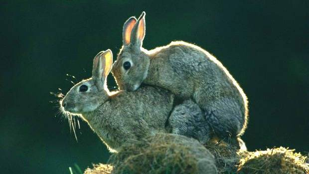 Новорожденные кролики: уход за крольчатами и крольчихой