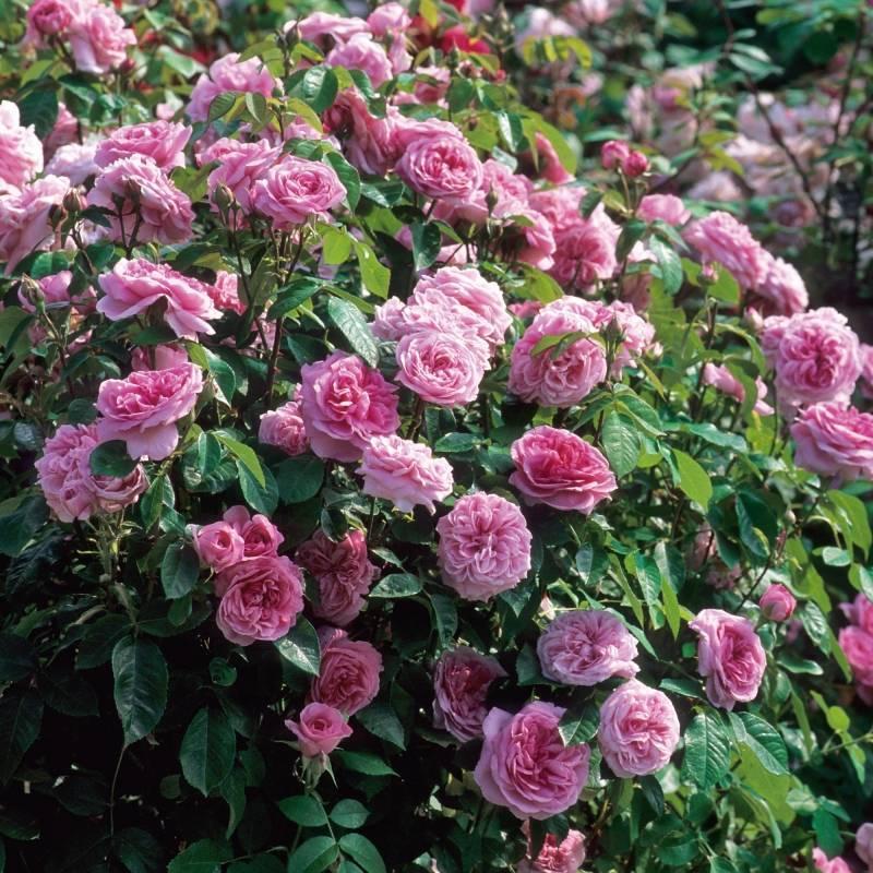 Розы дэвида остина моя любимица darcey bussell: фото