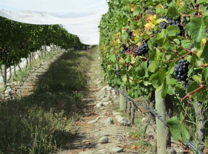 Чем подкормить виноград осенью?