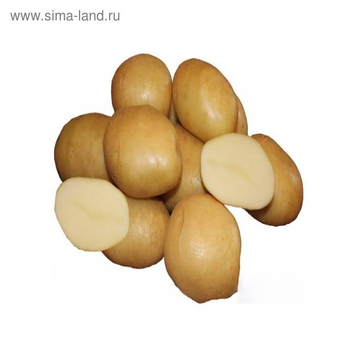 """Картофель """"бельмондо"""" описание сорта, зоны выращивания, особенности и его характеристики"""