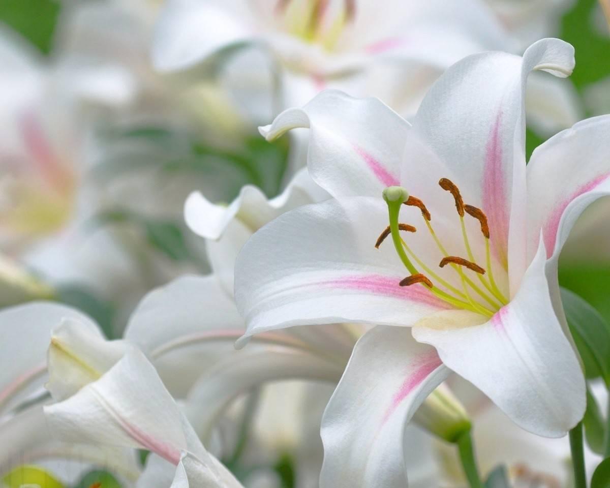 Лилии: осенняя выкопка и размножение
