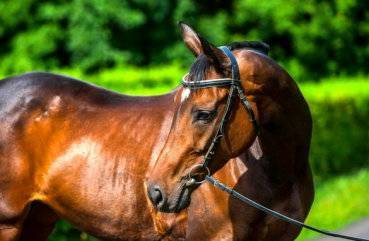 Тракененская лошадь — википедия переиздание // wiki 2