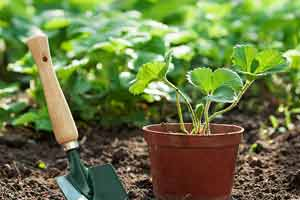 Посадка земляники на рассаду в домашних условиях (как выращивать и высаживать)