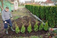 Что посадить между туями? - запись пользователя ирина (id2213033) в сообществе сад, огород в категории кустраники и плодоносные деревья. - babyblog.ru