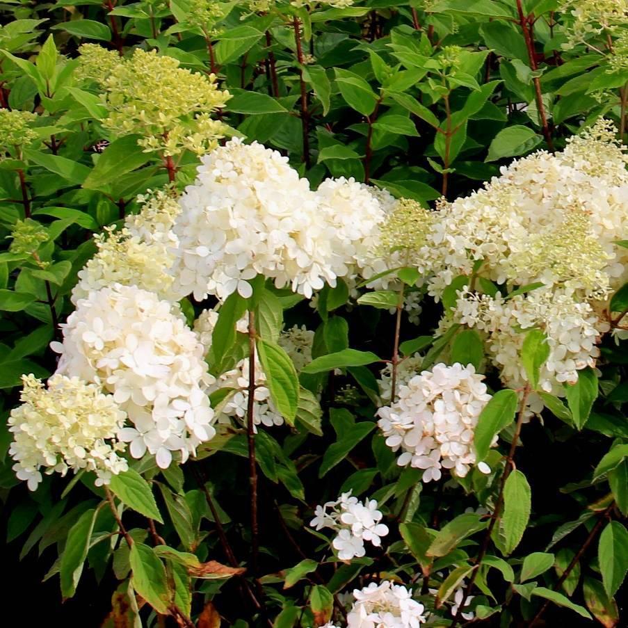 Почему цветы гортензии изменили оттенок на зеленый – способы решения проблемы
