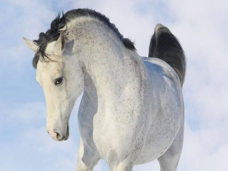 Хвост (лошадь) - tail (horse)