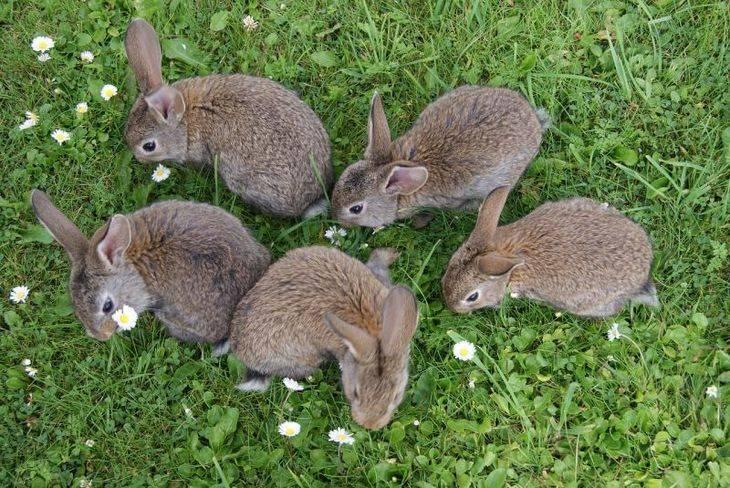 Вирусная геморрагическая болезнь кроликов