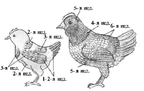 Как различить пол цыплят легко и просто