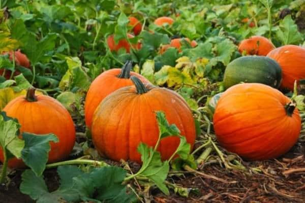 Советы огородникам: как выбрать место для выращивания петрушки, что можно сажать с ней рядом и другие рекомендации