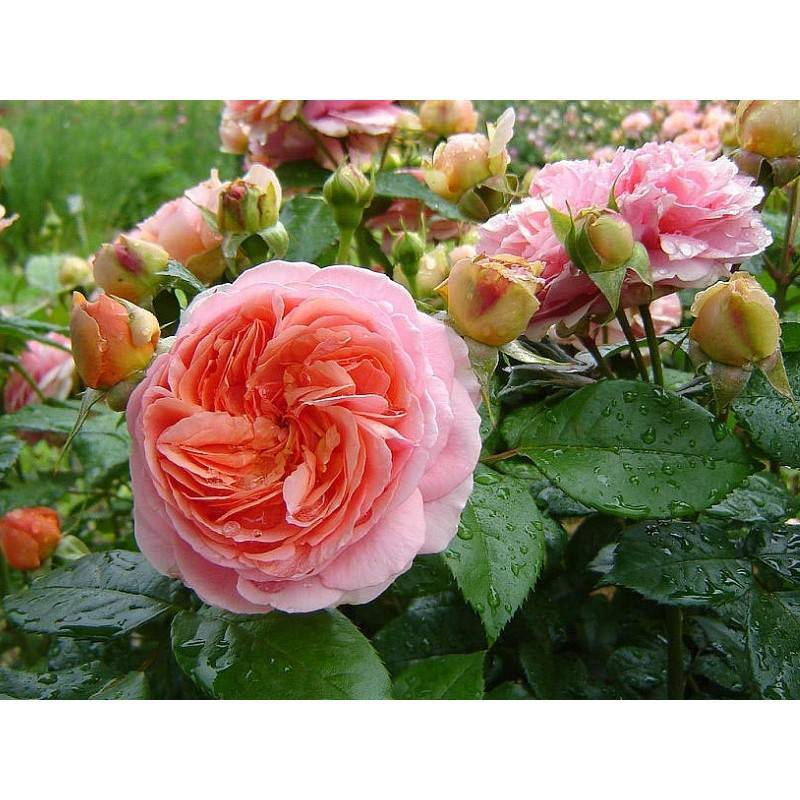 Уход и размножение сорта роз чиппендейл