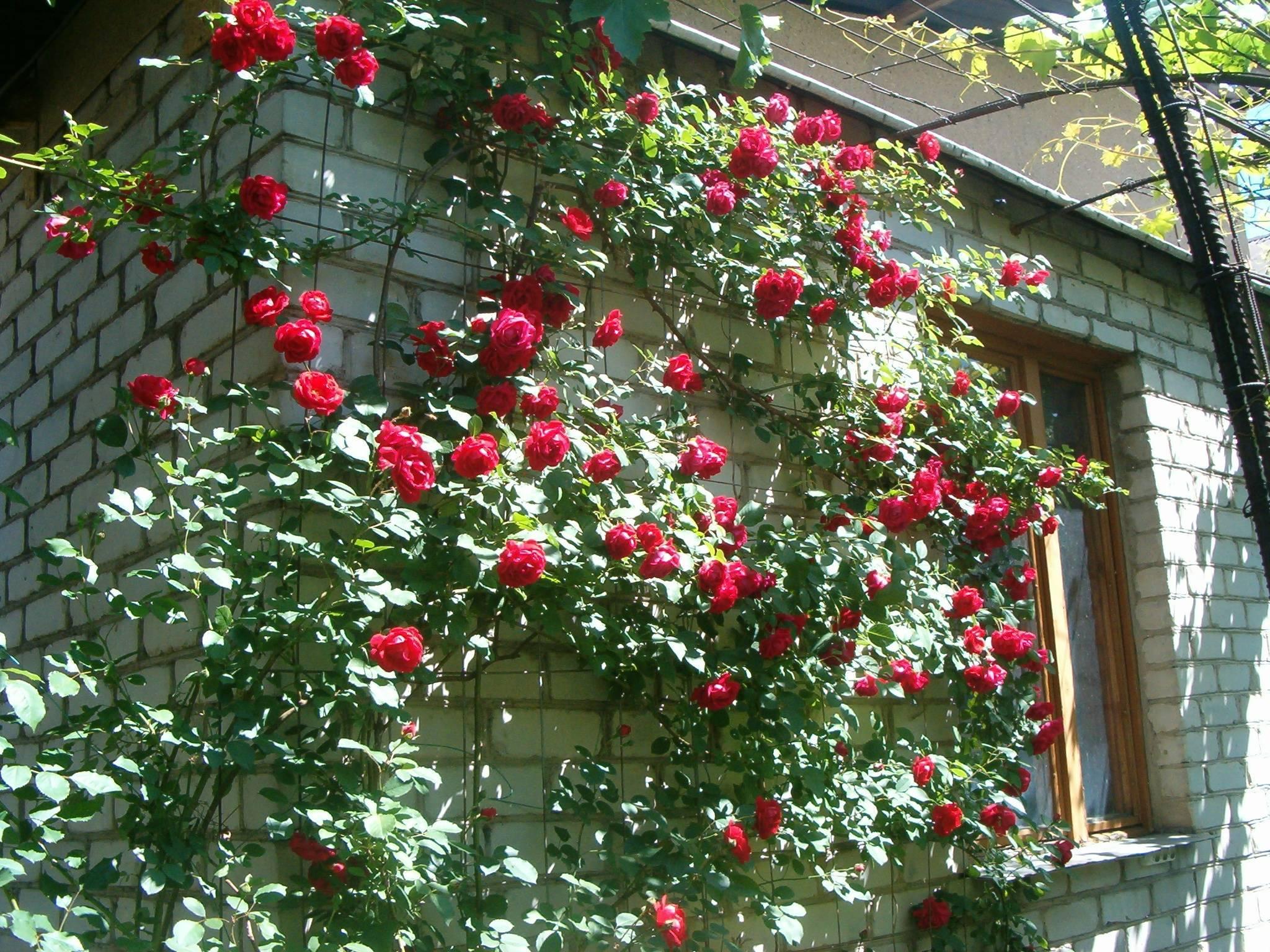Плетистая роза: уход осенью, подготовка к зиме, обрезка, укрытие на зиму