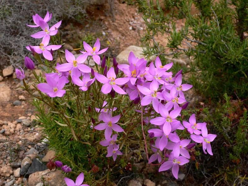 Золототысячник — лечебные свойства и противопоказания травы для женщин