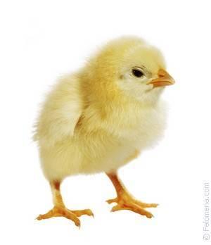 Чем кормить цыплят с первых дней жизни в домашних условиях, видео и фото