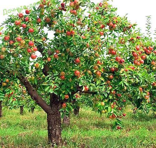 О яблоне Десертное Исаева, описание сортов, характеристики, выращивание