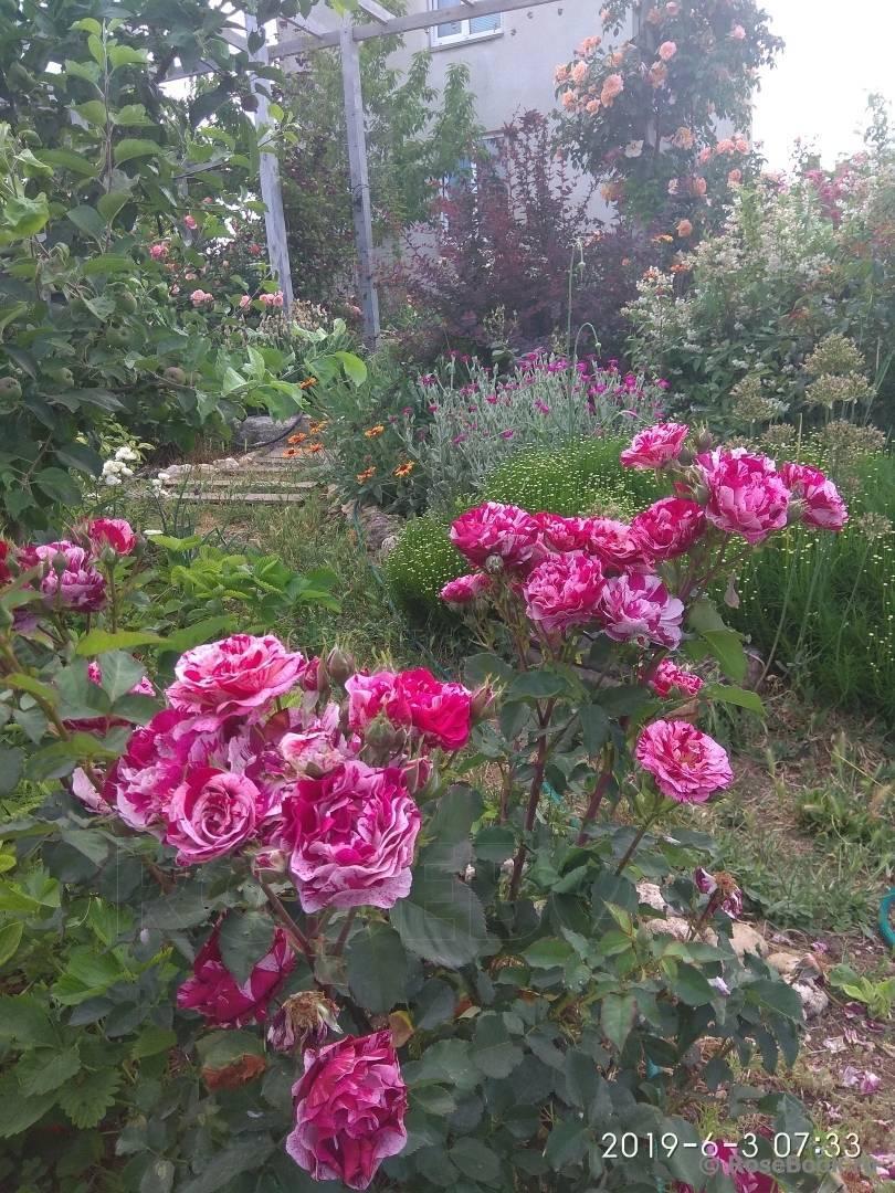 Почему не цветет роза в саду?