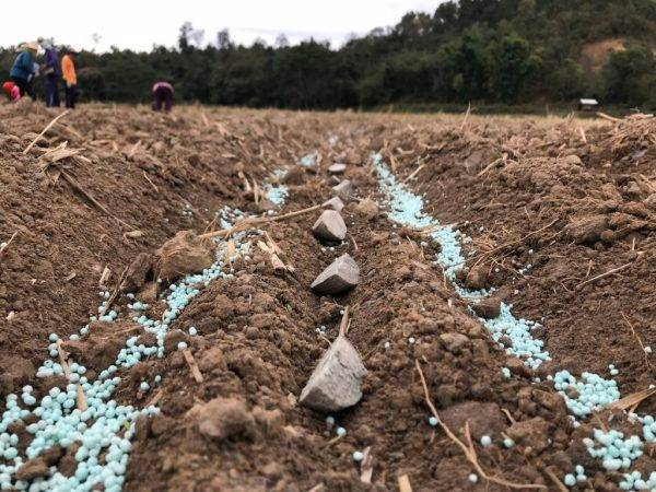 Минеральные удобрения для картофеля: применение на практике