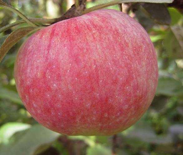 Яблоня мельба: описание и характеристика, посадка и уход, фото