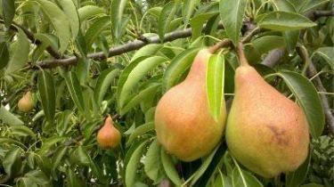 Лучшие сорта груш: описание, фото, вкусовые качества