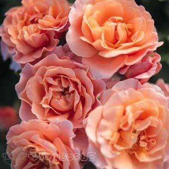 Роза marie curie (мари кюри): фото и описание, отзывы