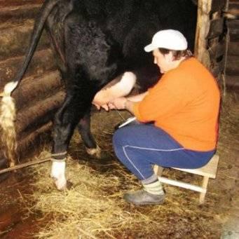 Дойка коровы как она есть