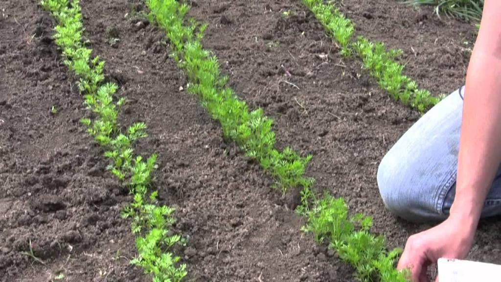 Посадка моркови весной: как правильно садить семена в открытый грунт?