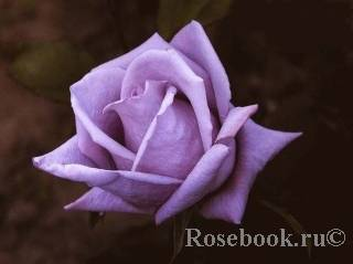 """Плетистая роза """"клайминг """": разновидности сорта и их особенности"""