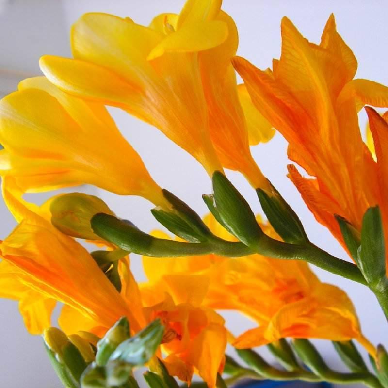Знакомимся более подробно с цветком — фрезия
