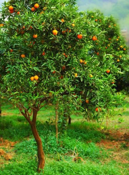 Мандариновое дерево – особенности ухода, пересадки и размножения, возможные проблемы
