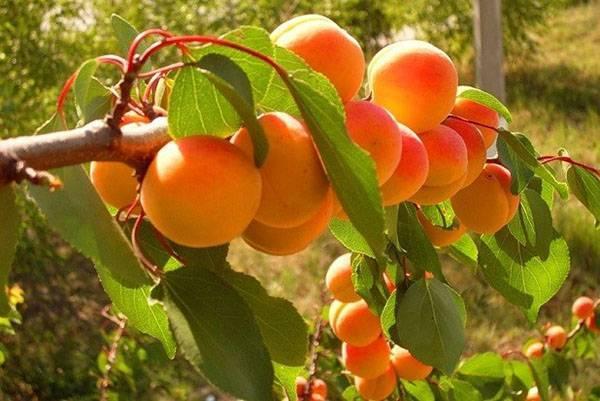 Как вырастить абрикос из косточки - что вырастет из косточки абрикоса?