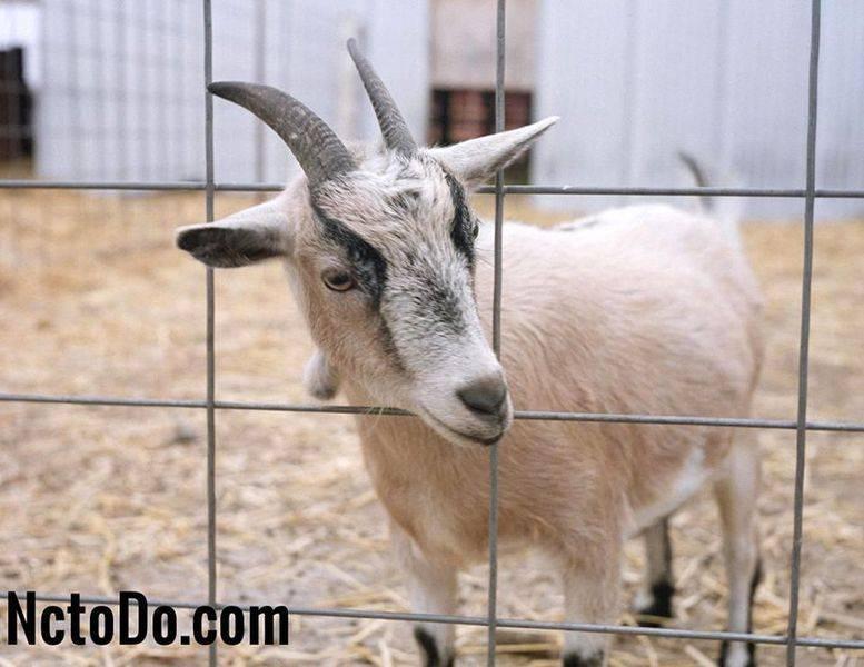 Симптомы и лечение самых опасных болезней коз
