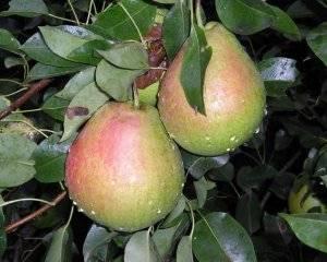 Описание и выращивание мраморной груши