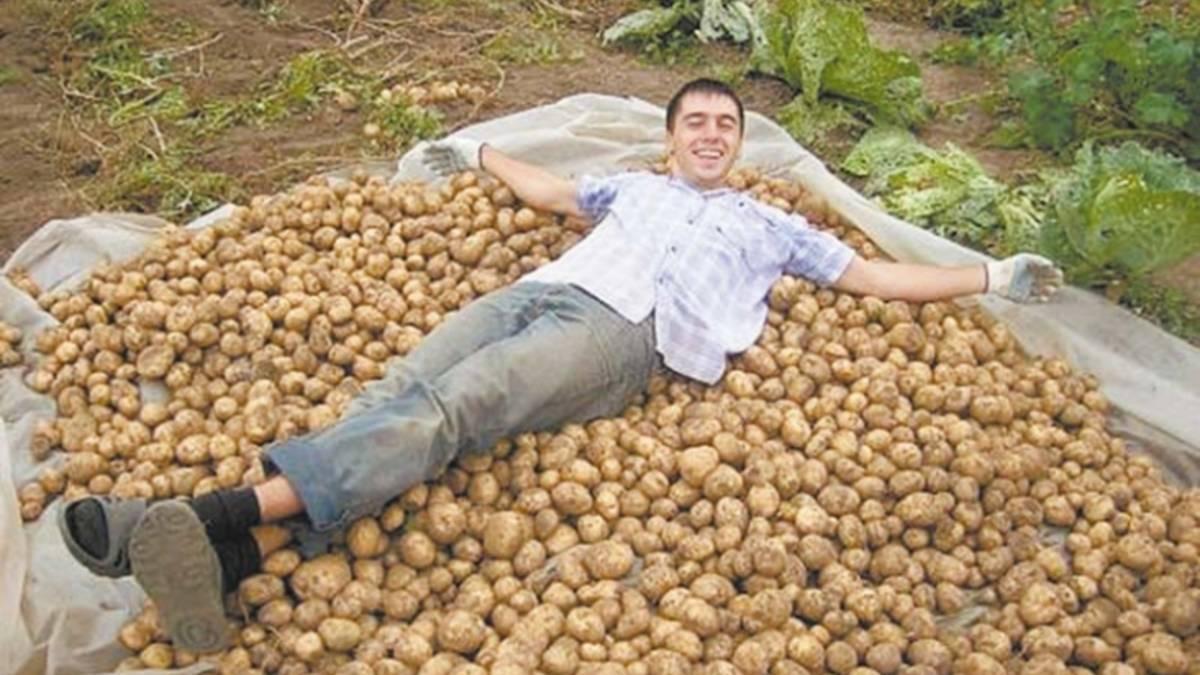 Как правильно копать картофель мотоблоком