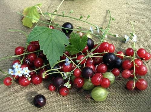 Чем подкормить смородину весной для хорошего урожая - минеральные и органические удобрения