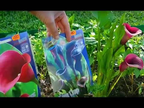 Каллы садовые посадка и уход
