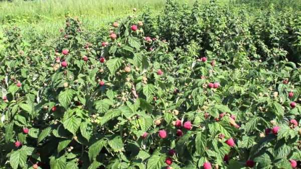 Ремонтантная малина: посадка и уход, выращивание и болезни