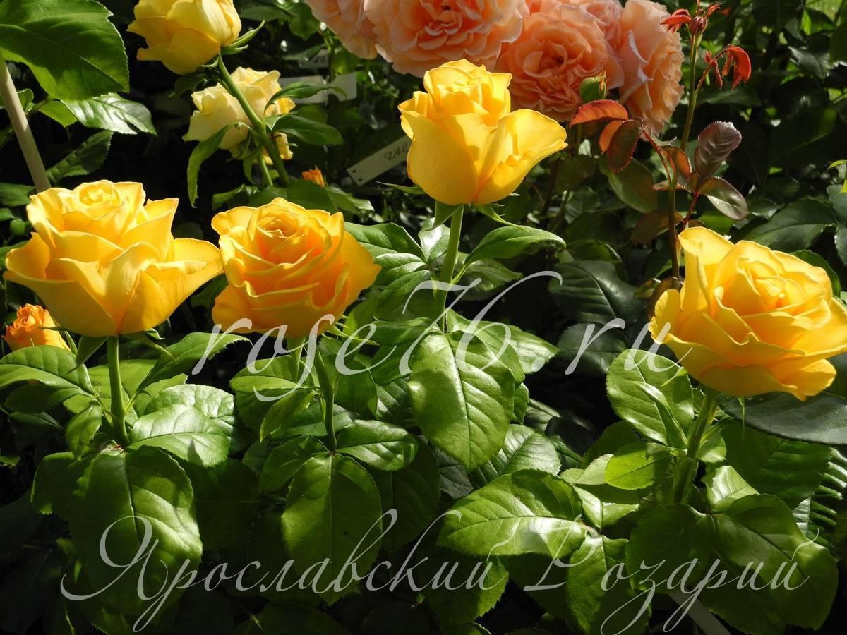 Роза керио: описание и рекомендации по уходу