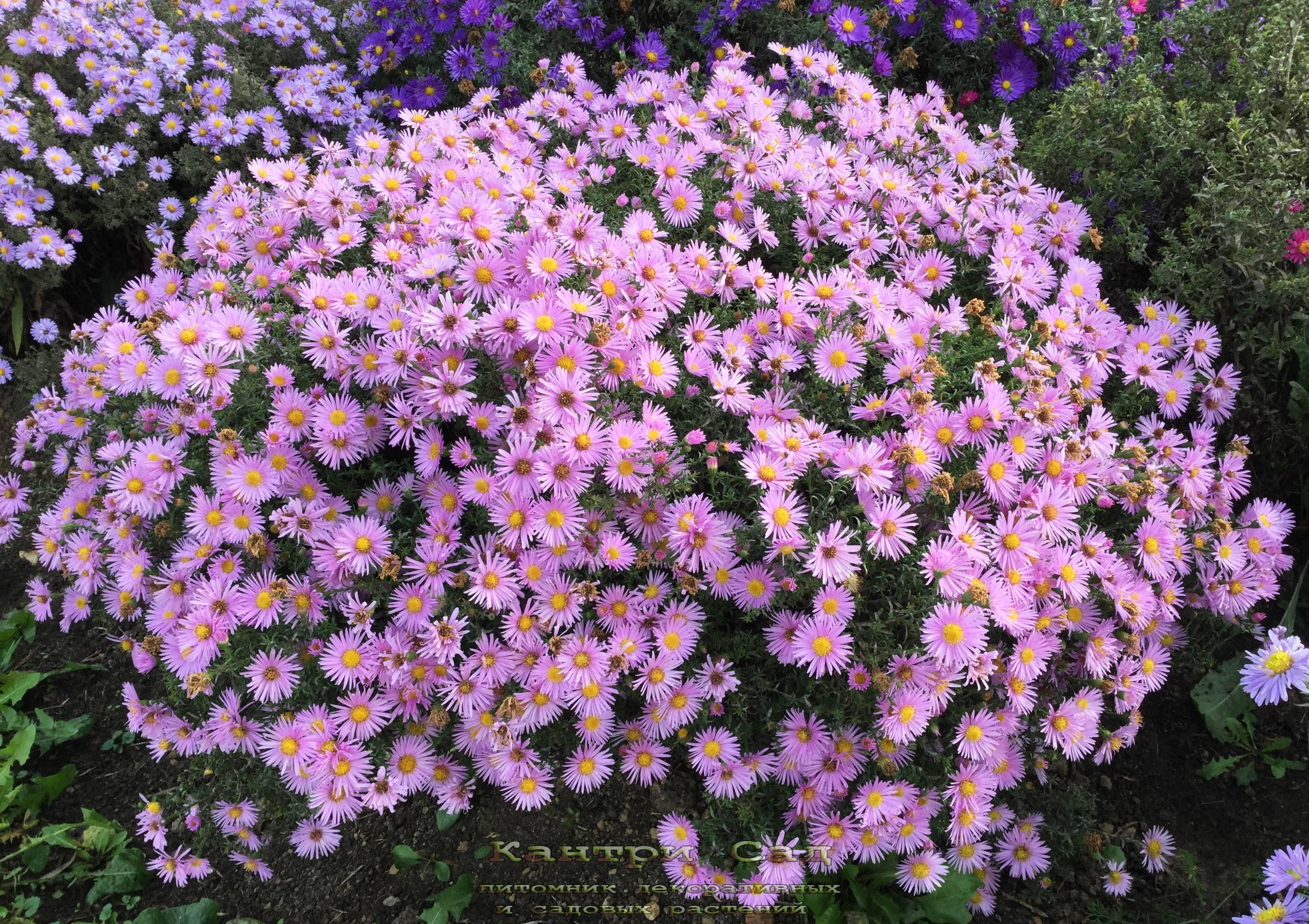 Астра кустарниковая — википедия переиздание // wiki 2