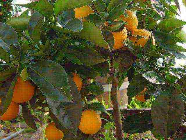 Выращивание апельсинов из косточек в домашних условиях, как посадить привить росток, болезни и уход