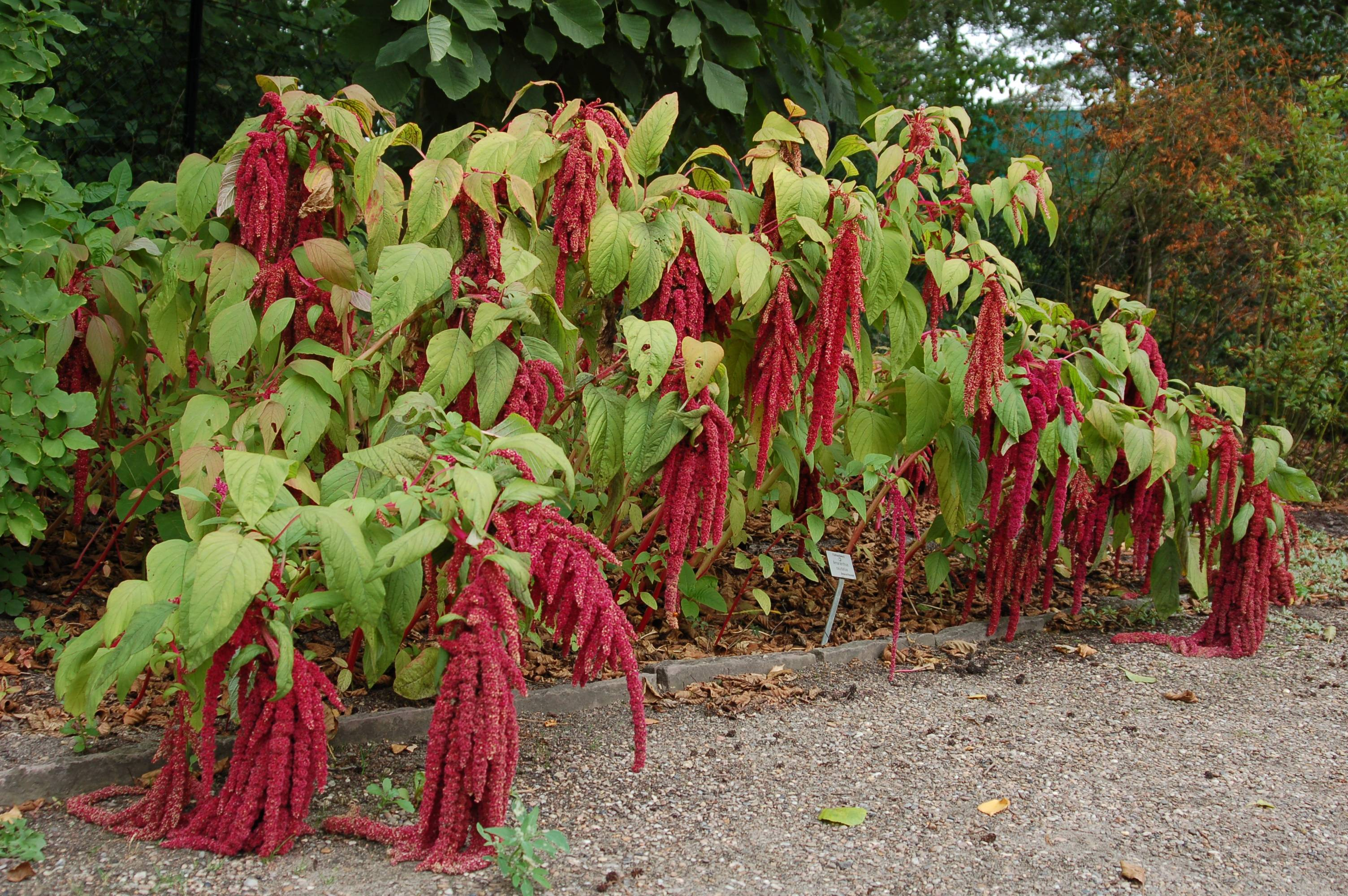 Садовый цветок амарант: характеристика и уход за растением