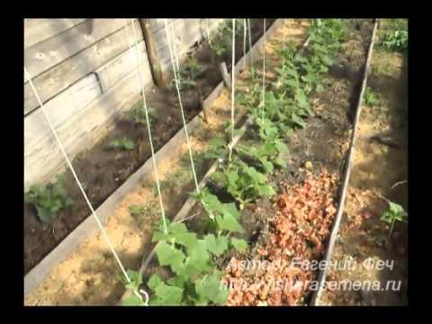 Особенности посадки огурцов в теплицу из поликарбоната