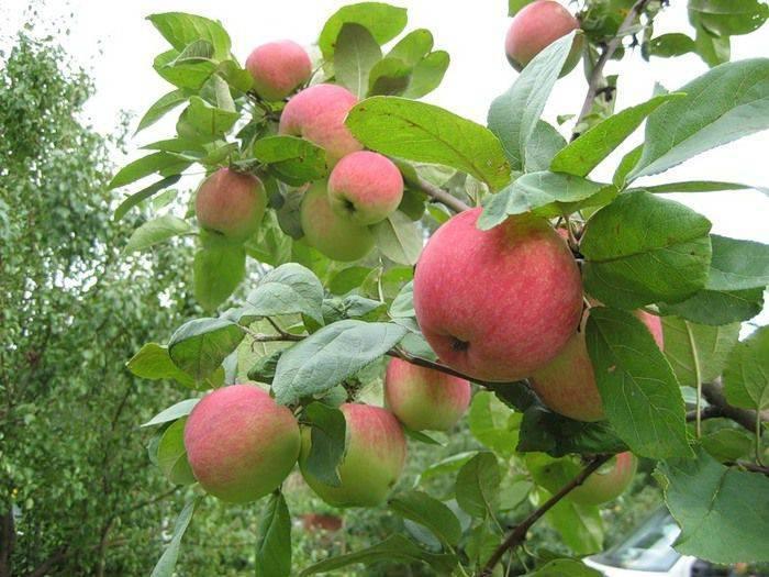 Лучшие поздние сорта яблонь