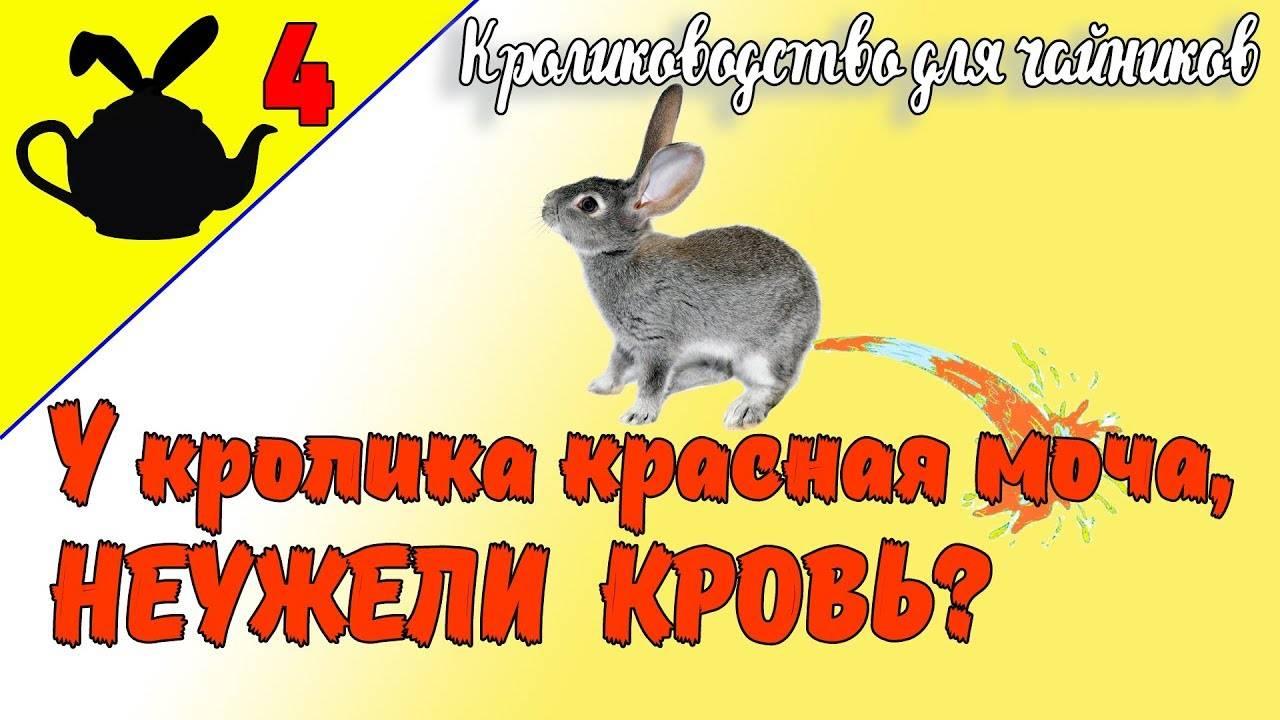 Почему у кролика красная моча: причины и лечение