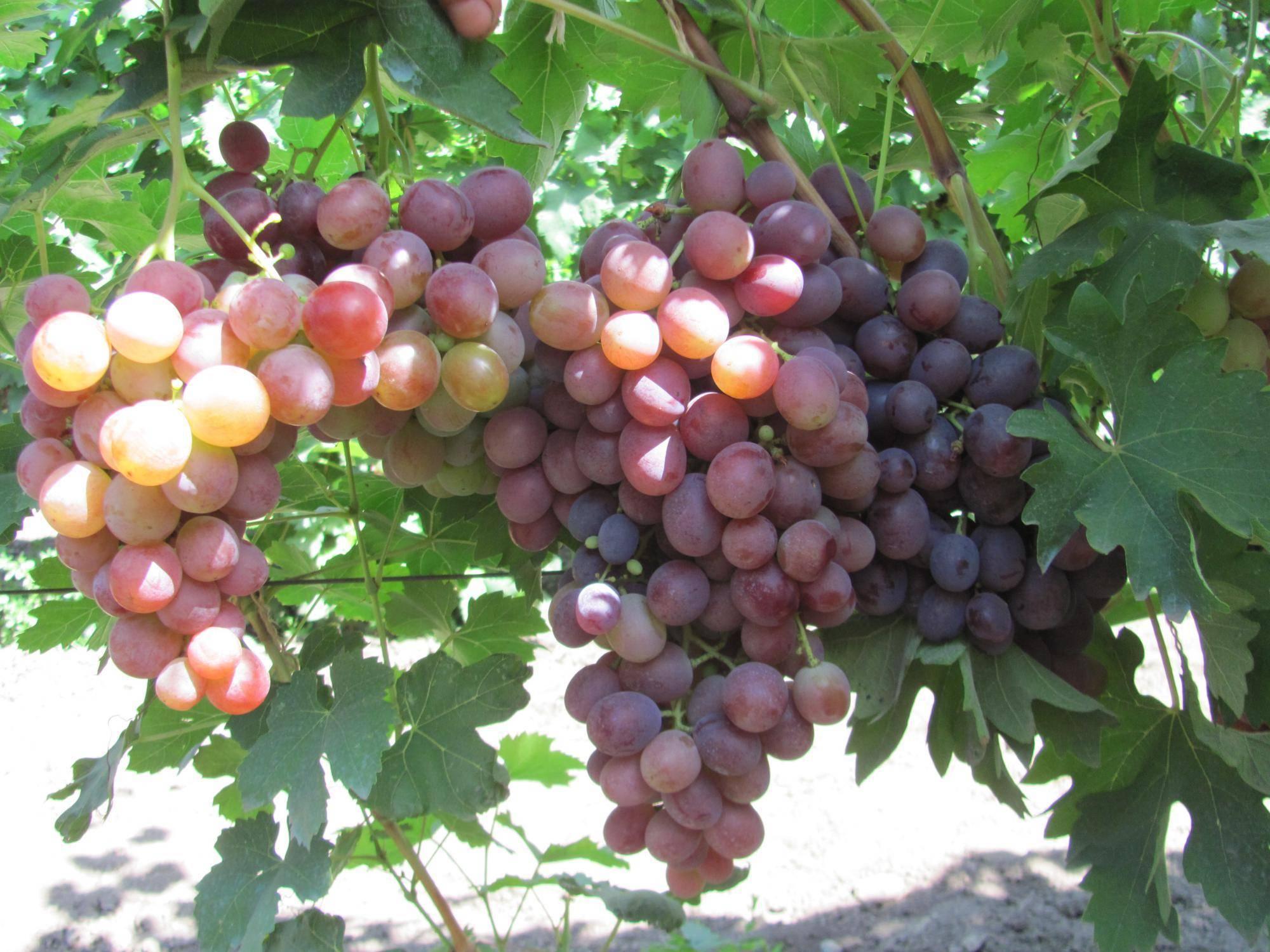 Виноград низина: описание сорта, фото, отзывы садоводов, видео