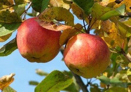 Почему желтеют листья у яблони летом