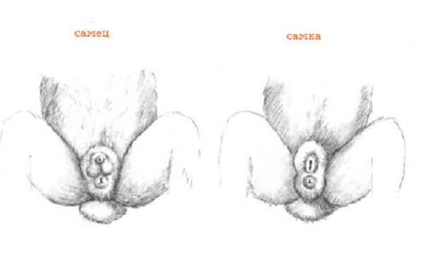 Как определить пол у кроликов: как узнавать и отличать